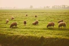 Moutons au pré Image stock