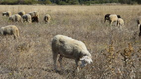 Moutons au printemps banque de vidéos
