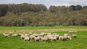 Moutons australiens Images stock