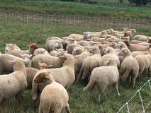 Moutons aux granges en pierre Photographie stock