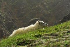 Moutons aux montagnes Image libre de droits