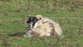 Moutons avec de grands klaxons, mâle - RAM, sur l'île de Skye - l'Ecosse banque de vidéos