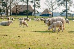 Moutons avec de jeunes agneaux dans le pré Images stock