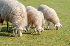 Moutons avec de jeunes agneaux dans le pré Photographie stock