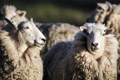 Moutons avec de la pleine ouatine de la laine juste avant le cisaillement d'été Photographie stock libre de droits