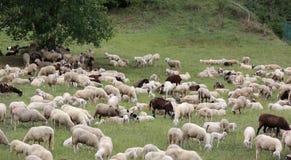 moutons avec des agneaux et des peaux de chèvre dans le pré Image libre de droits