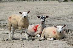 Moutons avec des agneaux sur le rivage chez Arnside. Photo stock