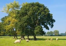 Moutons avec des arbres Images stock