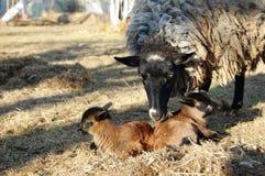 Moutons avec des jeunes photographie stock