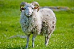 Moutons avec des klaxons images libres de droits