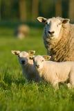 Moutons avec deux agneaux image stock