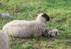 Moutons avec l'agneau nouveau-né Photographie stock libre de droits