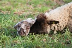 Moutons avec l'agneau nouveau-né Images libres de droits