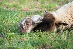 Moutons avec l'agneau nouveau-né Images stock