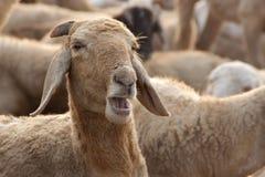 Moutons avec la bouche ouverte image libre de droits