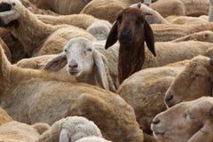 Moutons avec la curiosité photo libre de droits