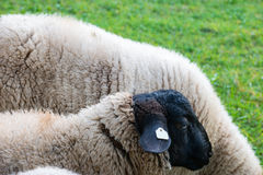 Moutons avec la tête noire : Espèces allemandes des moutons domestiques Photos stock