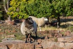 Moutons avec la tête noire sur les pierres Photos libres de droits