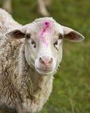 Moutons avec le repère sur sa tête Photographie stock