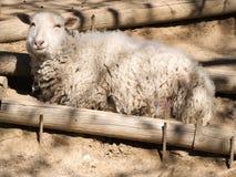 Moutons avec le visage heureux Photographie stock libre de droits