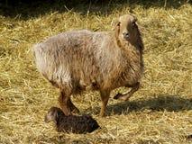 Moutons avec un agneau Photos stock