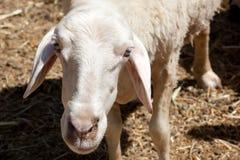 Moutons blancs établissant le contact visuel Photos stock