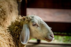 Moutons blancs Photographie stock
