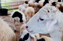 Moutons blancs Image libre de droits