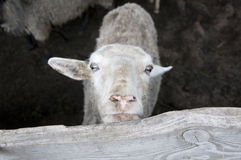 Moutons blancs Photos stock