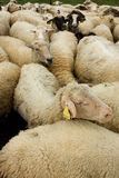 Moutons blancs Image stock