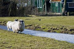 Moutons blancs Images libres de droits