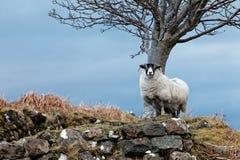 Moutons blancs Photos stock