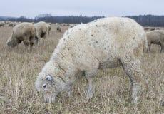 Moutons blancs Photos libres de droits
