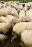 Moutons blancs avec des étiquettes Photographie stock libre de droits