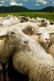 Moutons blancs avec des étiquettes Photos libres de droits