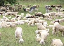 moutons blancs avec des agneaux frôlant dans le pré de montagne Image libre de droits