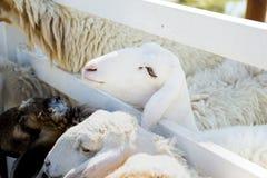 Moutons blancs dans une cage Photo stock