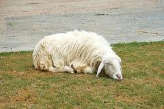Moutons blancs de sommeil sur l'herbe Photo stock
