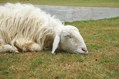 Moutons blancs de sommeil sur l'herbe Photos stock