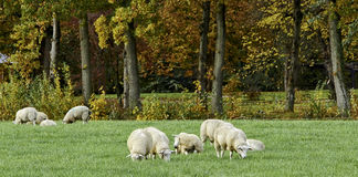 Moutons blancs en automne Photos libres de droits
