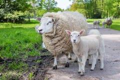 Moutons blancs et agneau de mère se tenant sur la route Photos stock