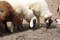 Moutons blancs et bruns mangeant de l'alimentation des animaux Photographie stock