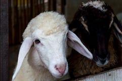 Moutons blancs et moutons bruns dans la cage Image stock