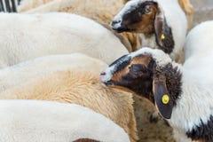 Moutons blancs et moutons noirs Photographie stock