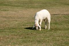 Moutons blancs frôlant dans la ferme de champ Images stock