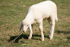 Moutons blancs frôlant dans la ferme de champ Images libres de droits