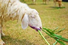Moutons blancs mangeant l'herbe dans la ferme Photos stock