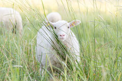 Moutons blancs mignons images stock