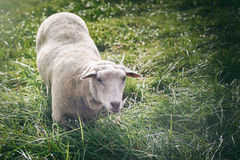 Moutons blancs regardant l'appareil-photo Photographie stock