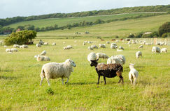 Moutons blancs regardant les moutons noirs laids Photos libres de droits
